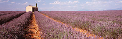 Flower Blooms Photograph - Lavender Field, Valensole Province by Panoramic Images