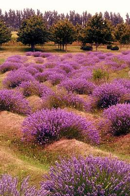 Photograph - Lavender Fields 2 by Michelle Calkins