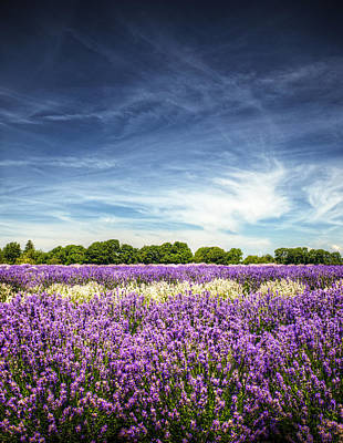 Lavender Fields Against Deep Blue Sky Art Print