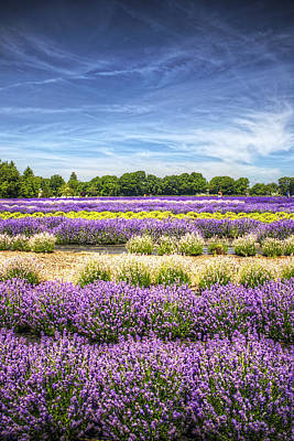 Lavender Fields At East Marion Art Print