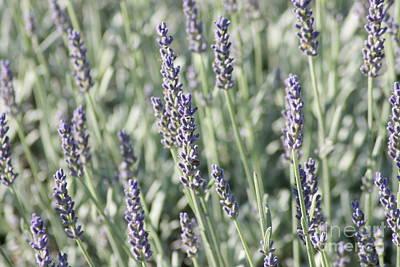 Photograph - Lavender Fields by Barbara Bardzik