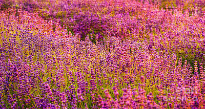 Kids Cartoons - Lavender fields by Courtney Trusty