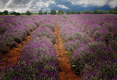 Photograph - Lavender Fields by David and Carol Kelly