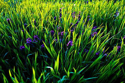 Photograph - Lavender Fields by Everett Houser