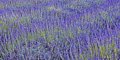 Photograph - Lavender Fields by Jane McIlroy