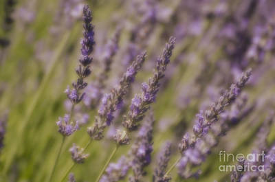 Photograph - Lavender Fields by Jim And Emily Bush