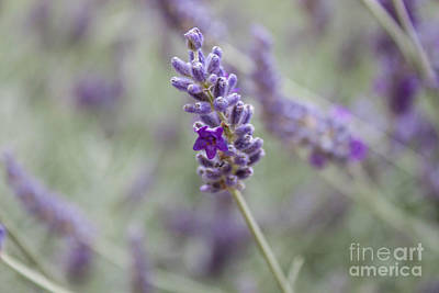 Wall Art - Photograph - Lavender Flower by Sara Ricer