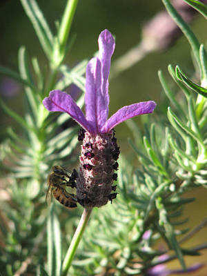 Photograph - Lavender Flower With Bee by Michelle Wrighton