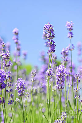Photograph - Lavender Flowering by Elena Elisseeva