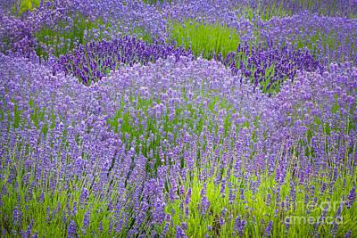 Lavender Flowers Art Print by Inge Johnsson