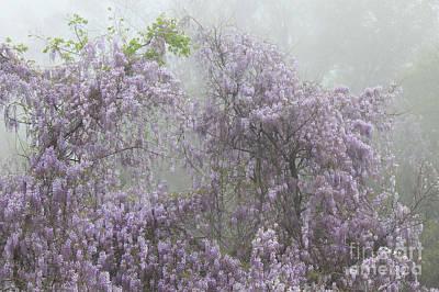 Wisteria In Bloom Photograph - Lavender Fog by Leslie Kirk