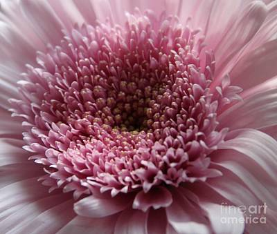 Bloom Photograph - Lavender Gerbera Up Close by Cathy Lindsey