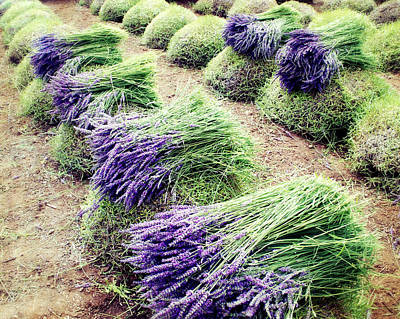 Photograph - Lavender Harvest by Lupen  Grainne