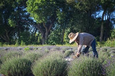 Photograph - Lavender Harvest by Mary Lee Dereske