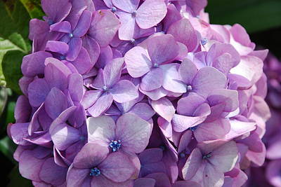 Photograph - Lavender Hydrangea by Charlie and Norma Brock