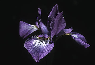 Photograph - Lavender Iris On Black by John Brink