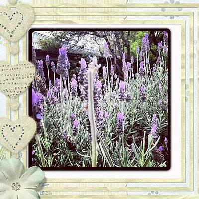 Lavender Photograph - #lavender by Jacqui Mccarron
