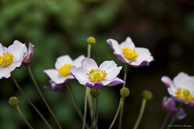 Photograph - Lavender Japanese Anemone by Kathy Ponce