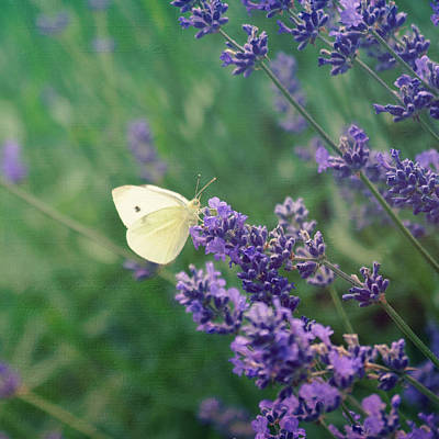 Photograph - Lavender Kiss by Robin Dickinson