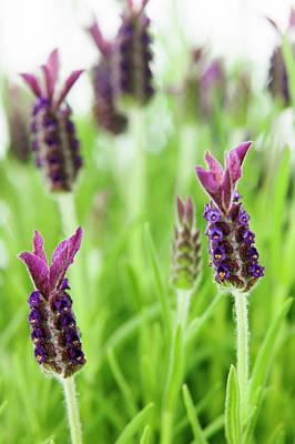 Lavender (lavandula Stoechas) Art Print by Gustoimages/science Photo Library