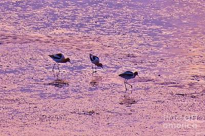 Photograph - Avocets In Lavender Light by Michele Penner