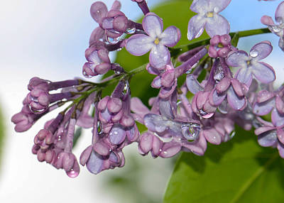 Photograph - Lavender Lilac by Amy Porter