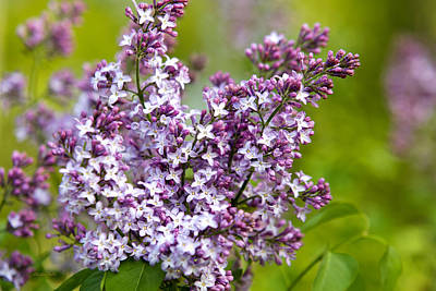 Photograph - Lavender Lilacs by Christina Rollo