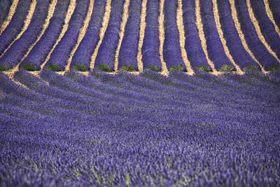 Lavender Lines Art Print by Joachim G Pinkawa