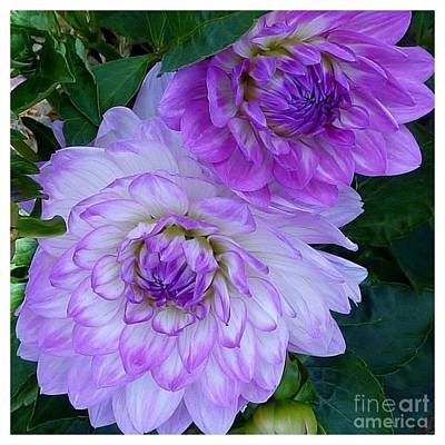 Photograph - Lavender Lovely Dahlia  by Susan Garren
