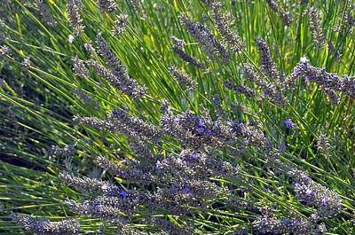 Photograph - Lavender Of Provence by Carla Parris
