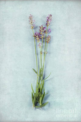 Manipulation Photograph - Lavender On Blue by HD Connelly