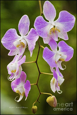 Photograph - Lavender Orchids by Richard J Thompson