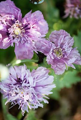 Cultivar Photograph - Lavender Peony Poppies by Maria Mosolova