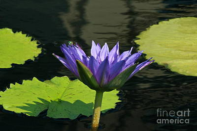 Photograph - Lavender Purple Waterlily And Blue Dragonfly Wide View by Byron Varvarigos