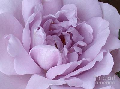 Art Print featuring the photograph Lavender Rose Chaos by Paul Clinkunbroomer