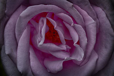 Photograph - Lavender Rose by Robert Woodward