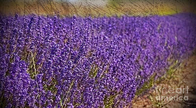 Photograph - Lavender Row Of Purple Art Prints by Valerie Garner