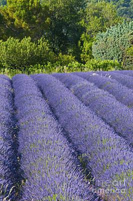 Lavender Rows Art Print by Bob Phillips