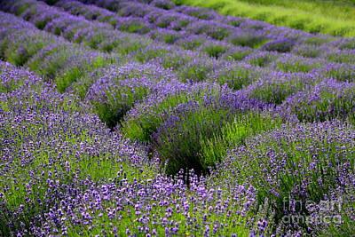 Photograph - Lavender Rows by Carol Groenen