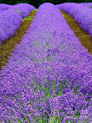 Photograph - Lavender Rows by Susan Garren