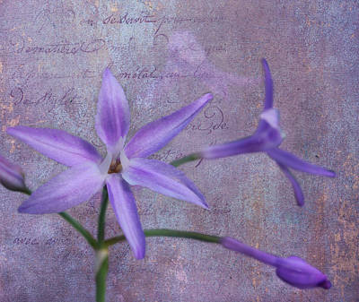 Photograph - Lavender Star by Judy Vincent