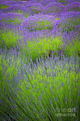 Horticultural Photograph - Lavender Study by Inge Johnsson