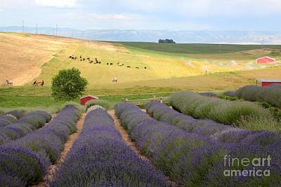 Photograph - Lavender Valley by Carol Groenen