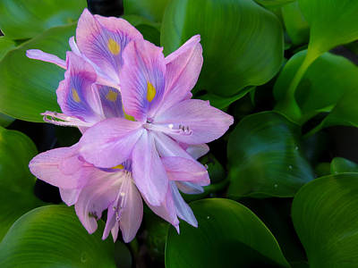 Photograph - Lavender Water Hyacinth by Shawna Rowe