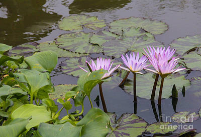 Photograph - Lavender Waterlilies by Jill Bell
