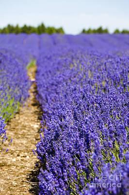 Lavender's Blue Art Print by Anne Gilbert