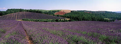 Lavenders Growing In A Field, Provence Art Print by Panoramic Images
