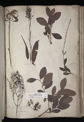 Lawson Plant Specimens Art Print by Science Photo Library