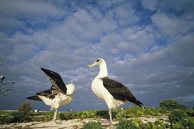 Laysan Albatross Courtship Dance Hawaii Art Print