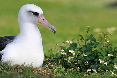 Laysan Albatross Nesting Hawaii Art Print by Tui De Roy